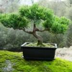 No sólo bonsáis