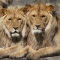 ¡Ostras!, que hay leones gay